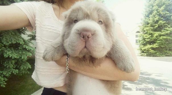 perro-adorable-sharpei-parecido-oso-tonkey (4)