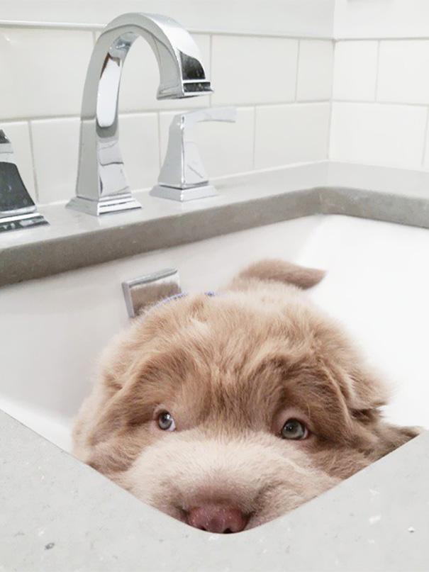 perro-adorable-sharpei-parecido-oso-tonkey (7)
