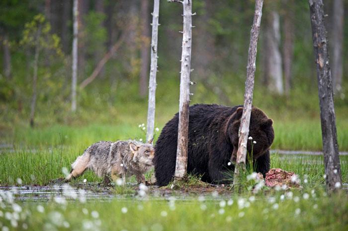 fotos-inusual-amistad-animal-lobo-oso-lassi-rautiainen-finlandia (14)