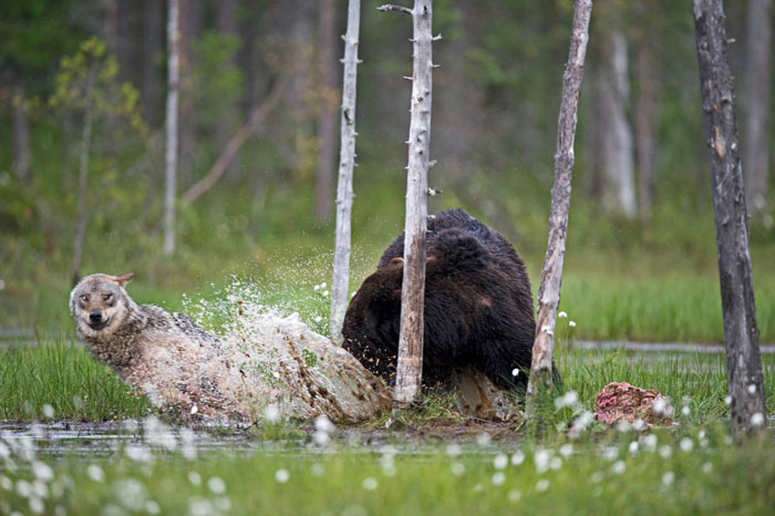 fotos-inusual-amistad-animal-lobo-oso-lassi-rautiainen-finlandia (15)