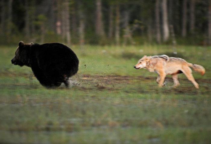 fotos-inusual-amistad-animal-lobo-oso-lassi-rautiainen-finlandia (3)