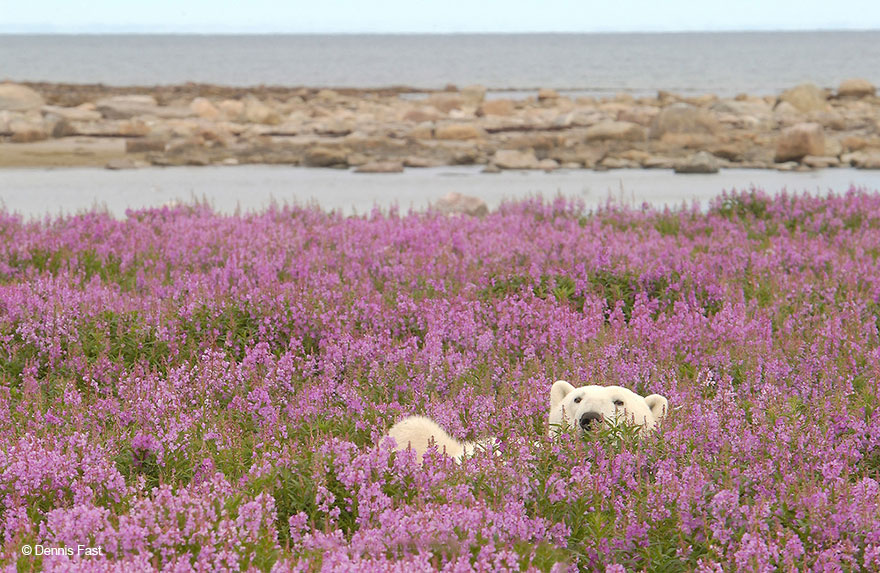 fotos-osos-polares-jugando-flores-dennis-fast (2)