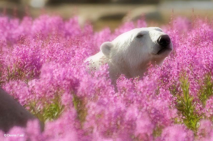 fotos-osos-polares-jugando-flores-dennis-fast (4)