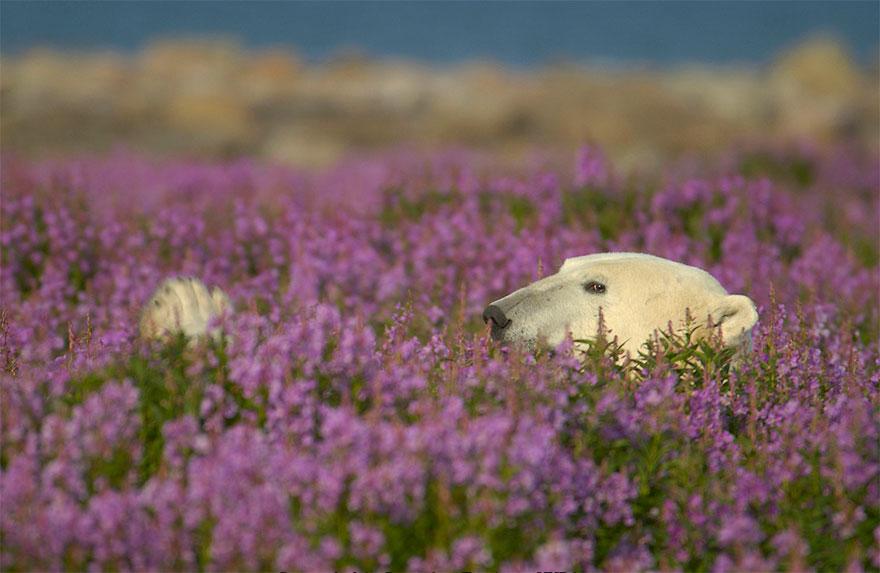 fotos-osos-polares-jugando-flores-dennis-fast (9)
