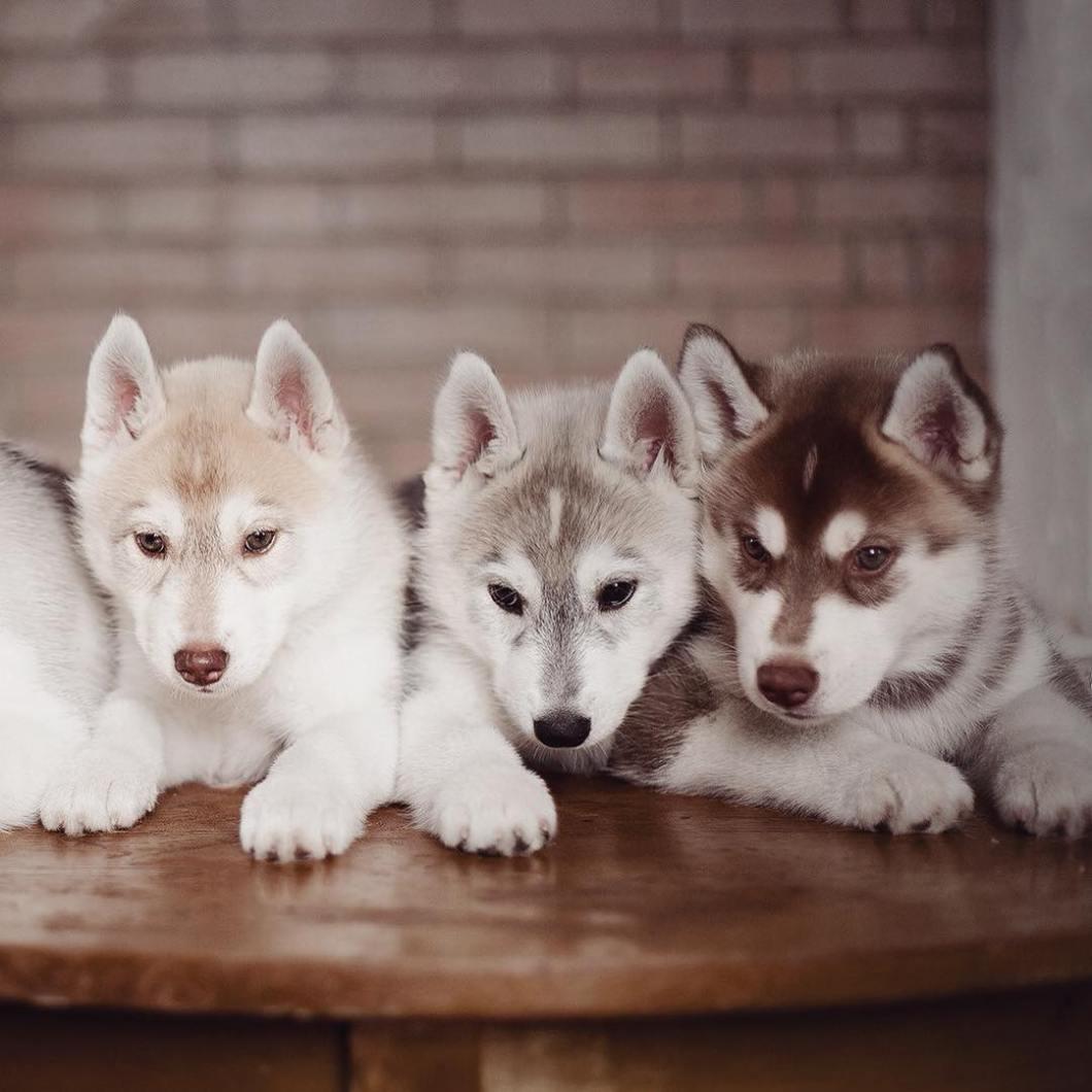 instagram-perros-husky-siberiano-erica-tcogoeva (4)
