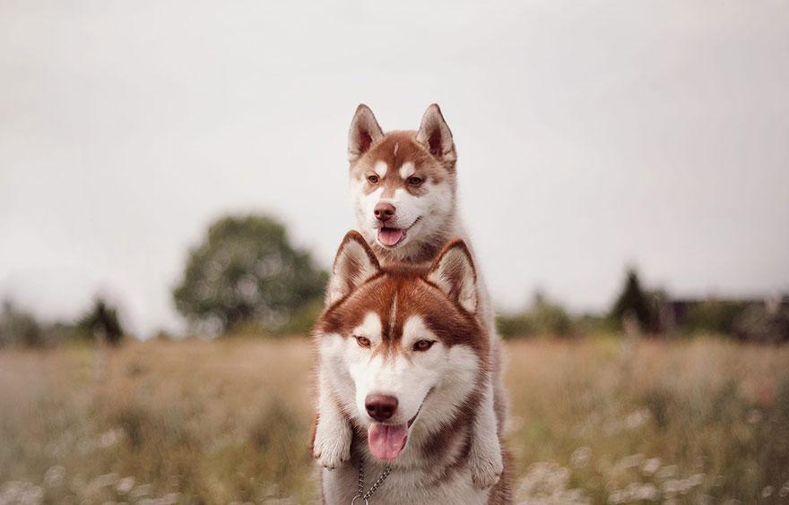 instagram-perros-husky-siberiano-erica-tcogoeva (5)