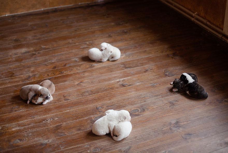 instagram-perros-husky-siberiano-erica-tcogoeva (7)
