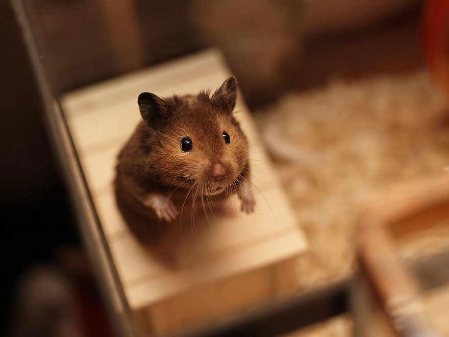 hamsters-adorables (2)