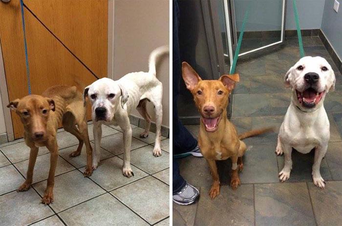 transformacion-perros-desnutridos-rescatados-trio-animal (6)