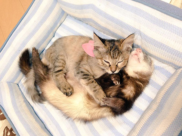 gato-komari-adoptado-familia-hurones (18)