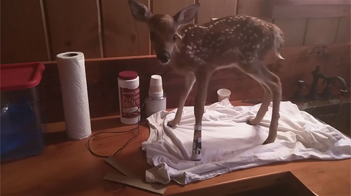 hombre-salva-un-ciervo-recien-nacido-amistad-de-animales (2)