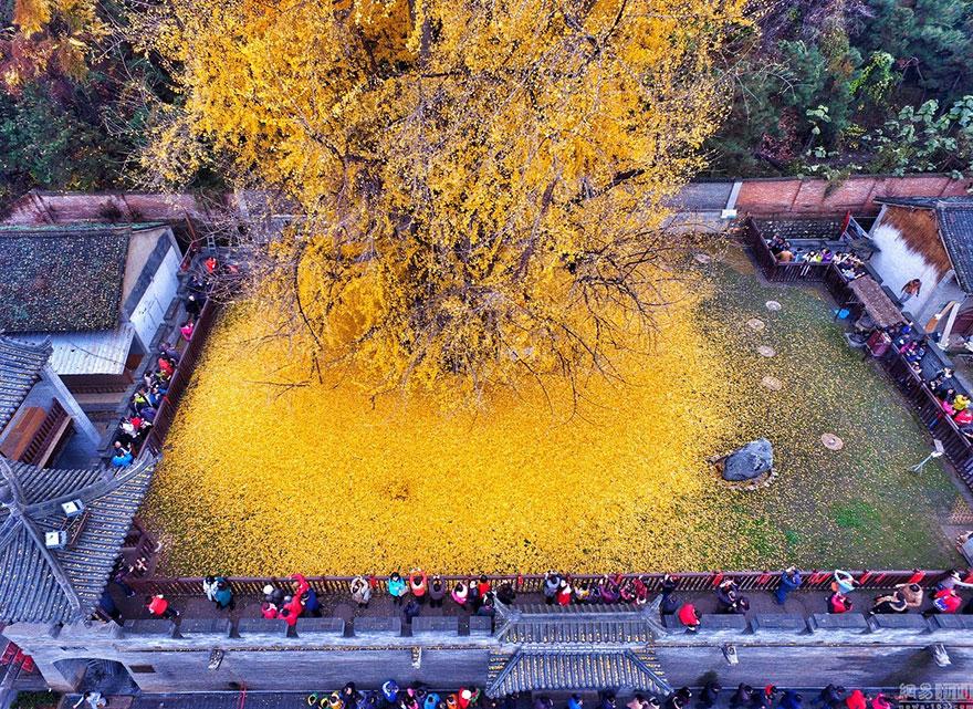 arbol-ginkgo-hojas-caidas-templo-budista-china (3)