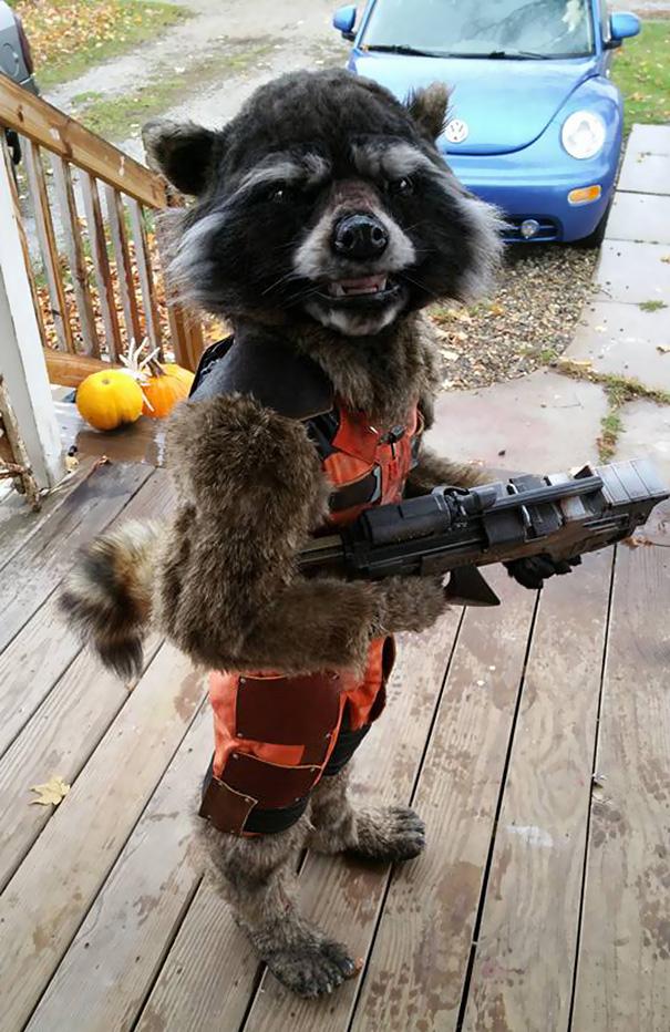 disfraz-halloween-rocket-raccoon-chase-borchardt (2)