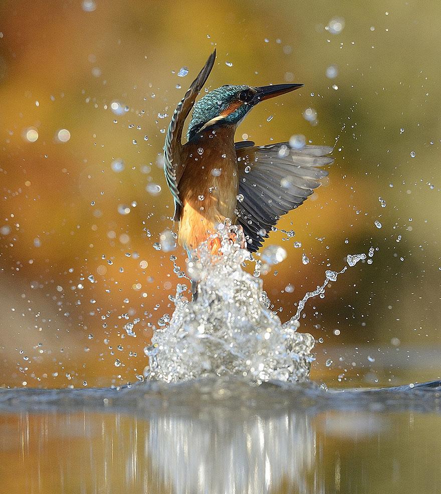 foto-perfecta-martin-pescador-alan-mcfayden (5)