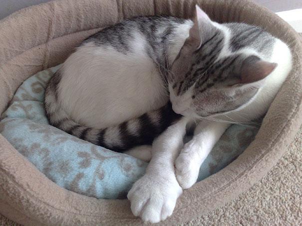 gatos-con-picaduras-de-abejas (5)