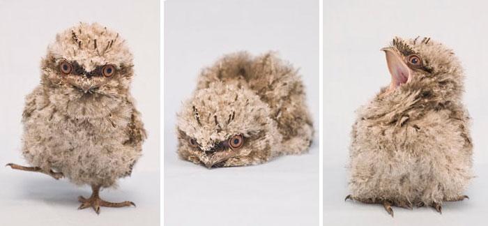 podargo-australiano-ave (14)