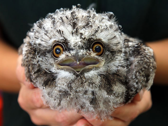 podargo-australiano-ave (22)