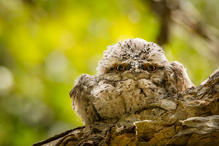 podargo-australiano-ave (3)