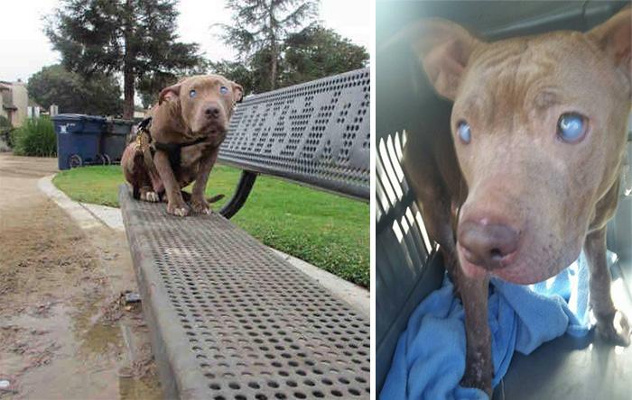 poly-perro-pitbull-ciego-abandonado-rescatado (10)