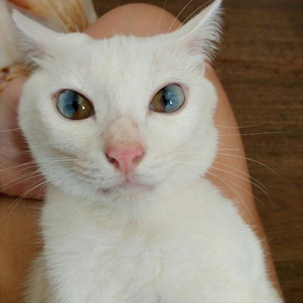 gato-ojos-multicolor-heterocromia-sectorial (1)