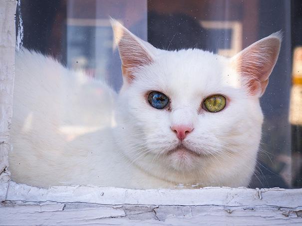 gato-ojos-multicolor-heterocromia-sectorial (11)