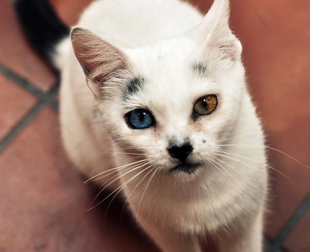 gato-ojos-multicolor-heterocromia-sectorial (5)