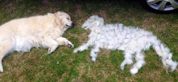 mascotas-soltando-pelo (43)
