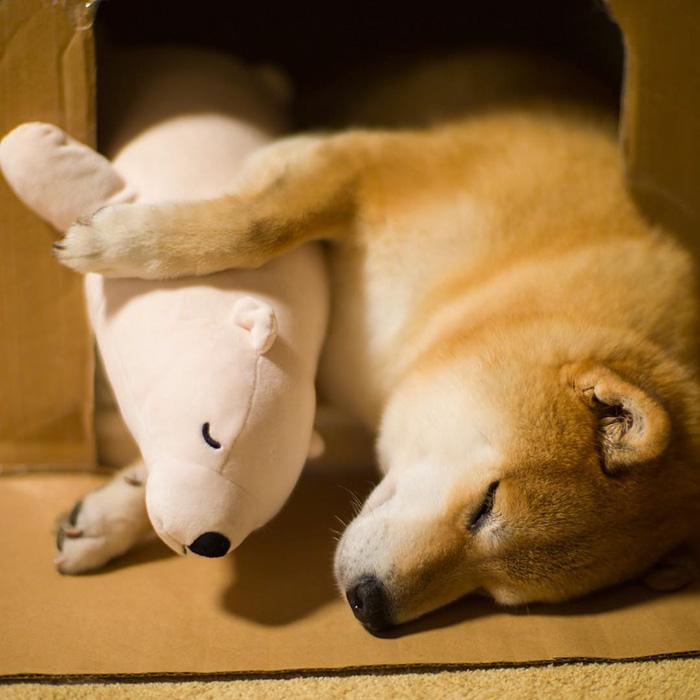 perro-shiba-inu-maru-dormir-igual-oso-peluche (10)