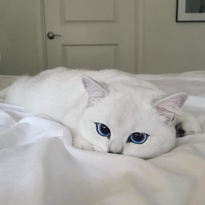 ojos-bonitos-gato-pelicorto-ingles-coby (13)