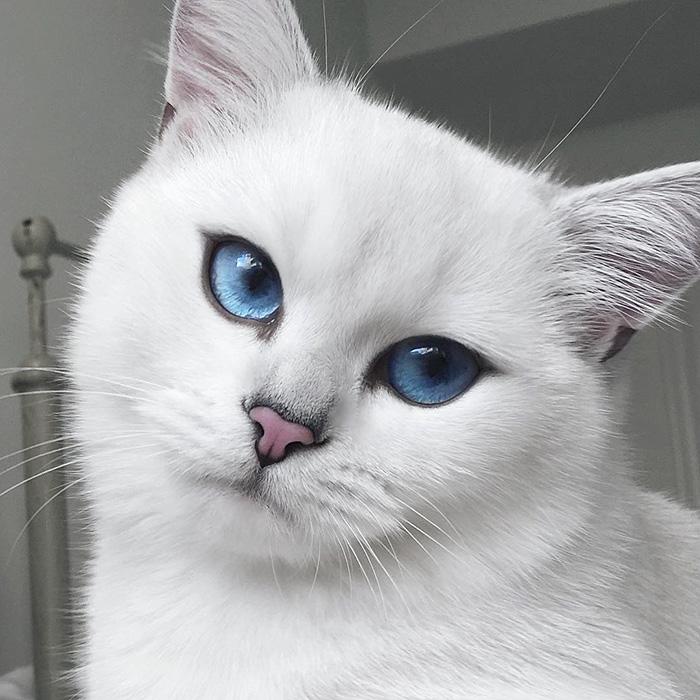 ojos-bonitos-gato-pelicorto-ingles-coby (17)