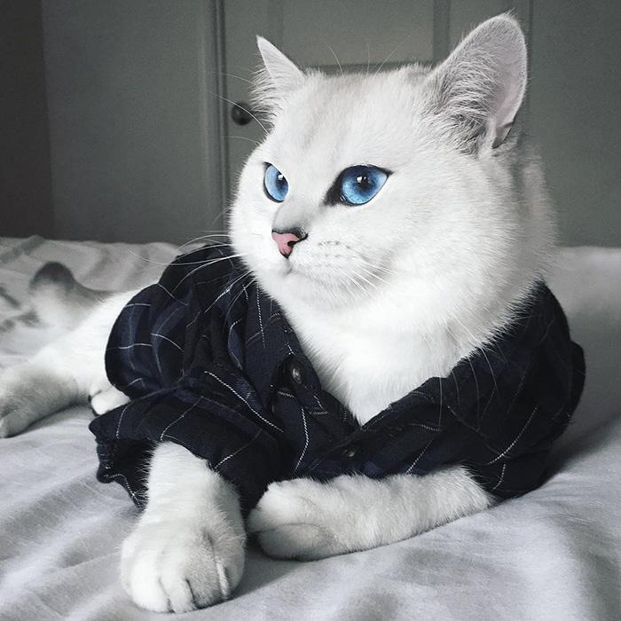 ojos-bonitos-gato-pelicorto-ingles-coby (8)