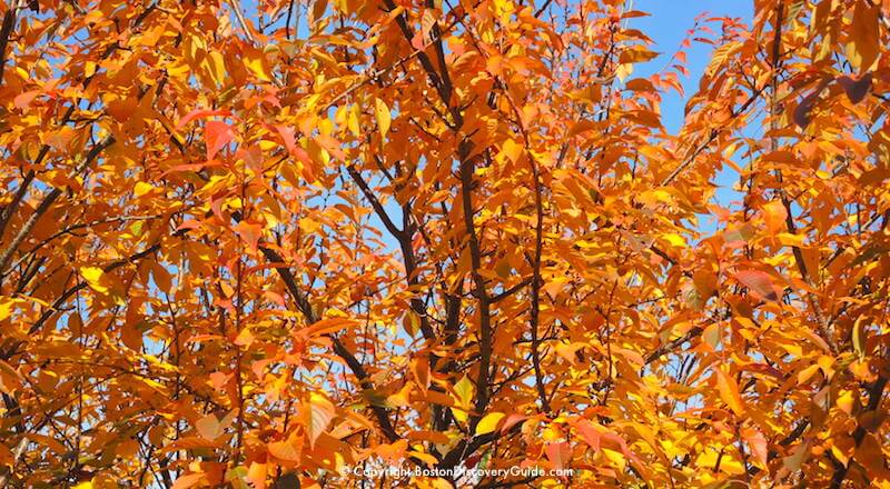 Falling Maple Leaves Wallpaper Boston Fall Foliage Tours 7 Best Sites In The City