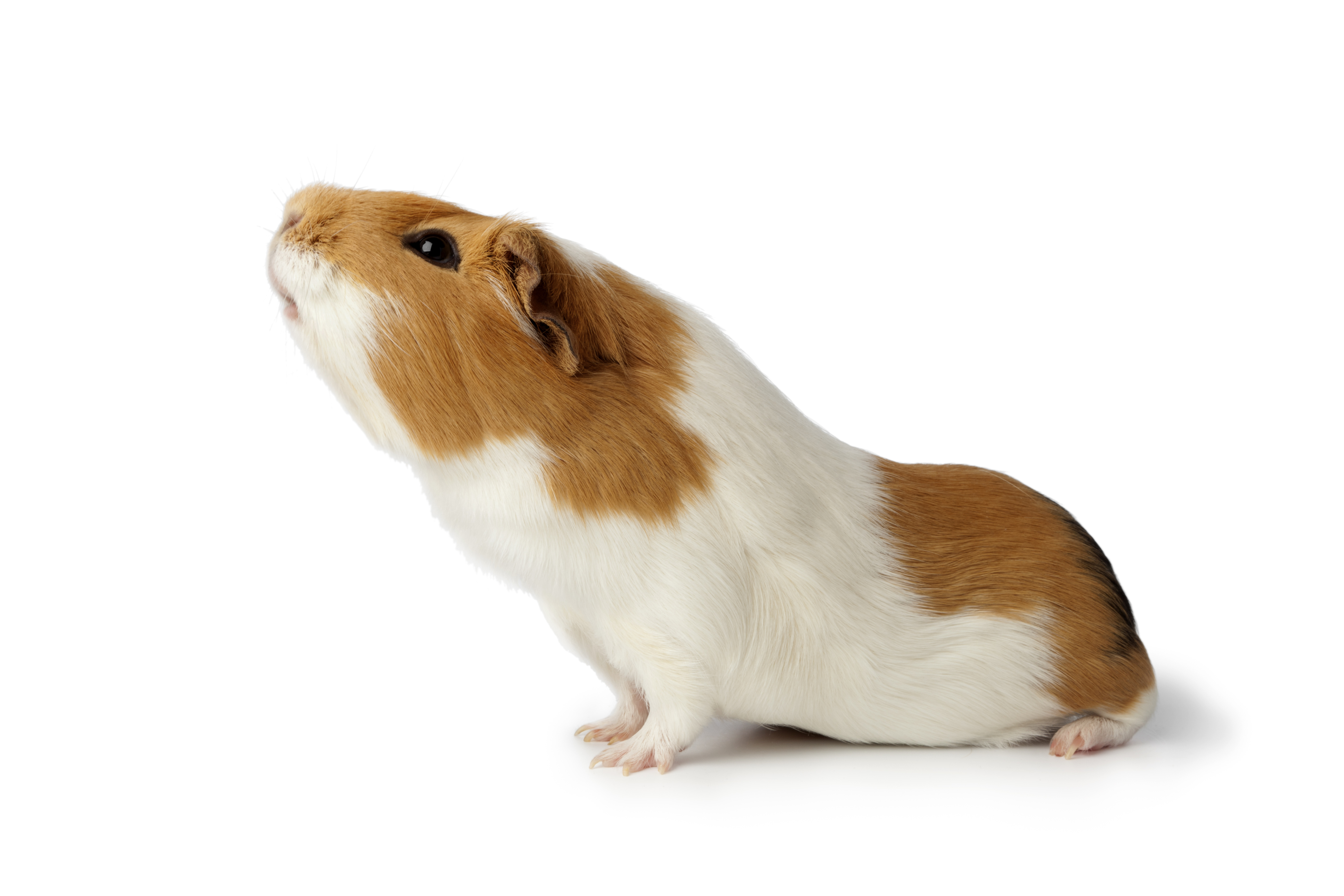 Guinea pig\u0027s lice can\u0027t spread to pet owners \u2013 Boston Herald