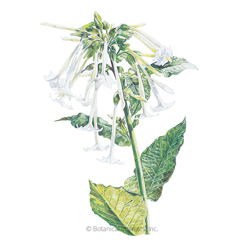 Indian Peace Pipe Nicotiana Seeds , View All Flowers Botanical