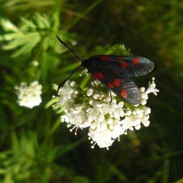 Valeriana y mariposa