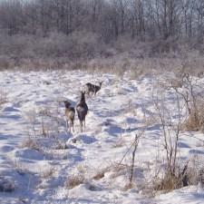 疑問解決!貧相な冬の針葉樹林でシカは何を食べているのか?