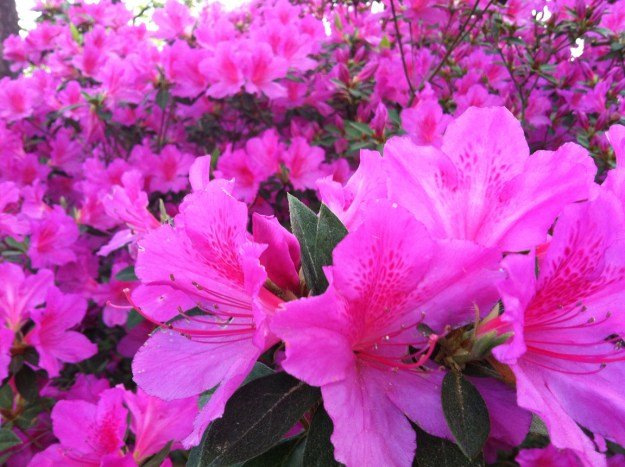 The way the azaleas really looked.