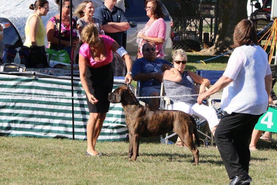 Salem, Best in Sweeps, Bullmastiff Fanciers of Canada National Specialty. Judge Susan Crawford