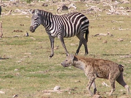 Zebra and hyena