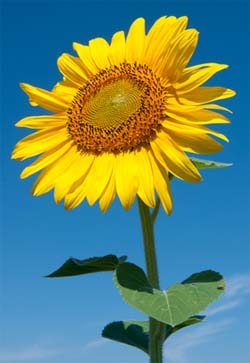 H&W page pic sunflower