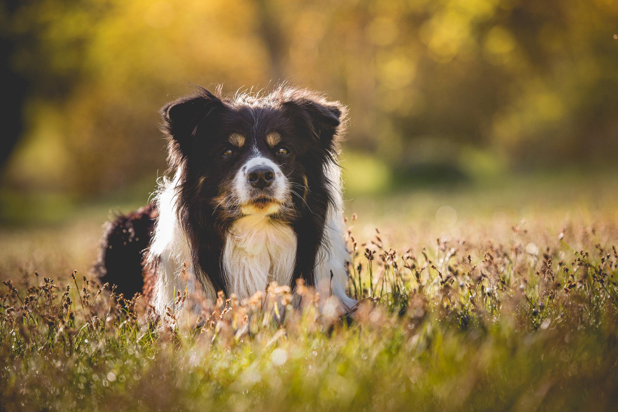 Border Collie Rüde Neo liegend auf einer Frühlingswiese im Morgenlicht.