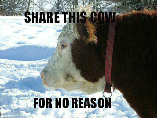 """""""share this cow for no reason"""""""