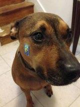 penny dog