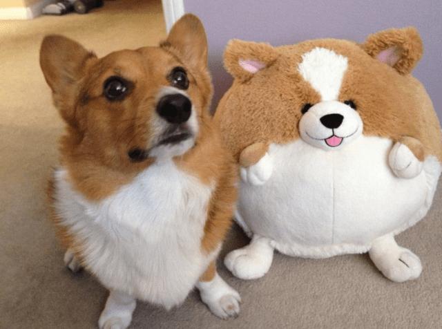 corgi-and-stuffed-animal