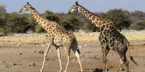 Need A New Pick-Up Line? You Should Consider Using Giraffe Trivia