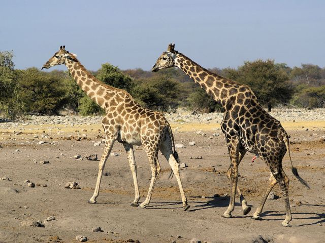 1024px-Giraffa_camelopardalis_angolensis_(courting)