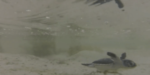 This Video Of 150 Baby Sea Turtles Being Born Will Get You Through Today