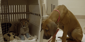 Puppy Helps Cheetah Cub Recover From Surgery And OH MY GOD THE FEELS