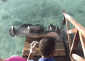 Hungriest Stingray In The Ocean Jumps Onto Dock For A Meal