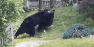 Two Possibly Drunk Bears Got Into A Brawl In Jersey, Wrecked Some Dude's Lawn